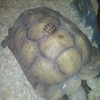 Große Spornschildkröte