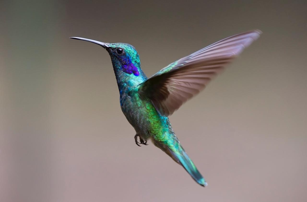 Kolibri - Hummingbird